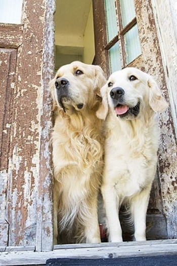 """Click visit site and check out Cool """"Golden Retriever"""" t-shirts. This website is superb. TIP: you can"""